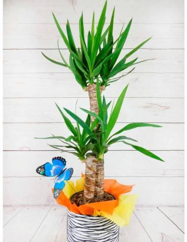Planta de Yuca Altura 1 m con Macetero