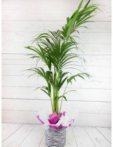 Planta Decoracion Kentia 160CM