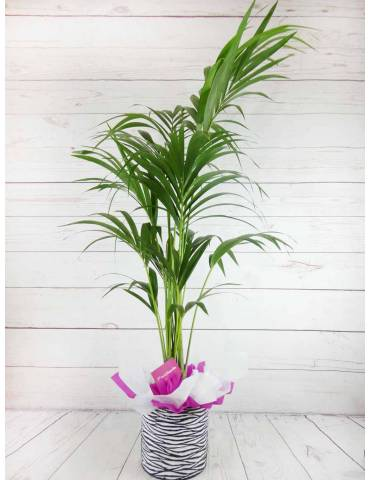 Planta Decoracion Kentia 160CM