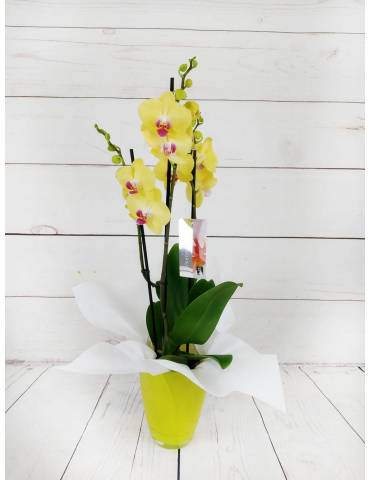 Orquídea 2 Tallos Amarilla...