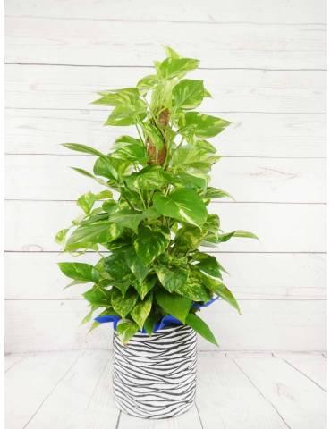 planta potos con tutor altura 80cm