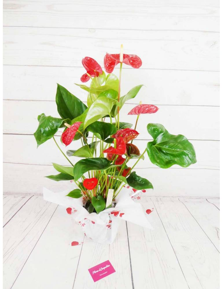 Planta Anthurium Roja (70cm altura)