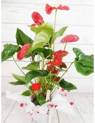 Planta Anthurium Rojo...