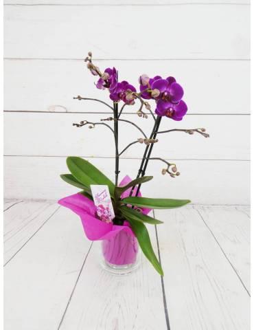 Orquídea Mini Fucsia 2...