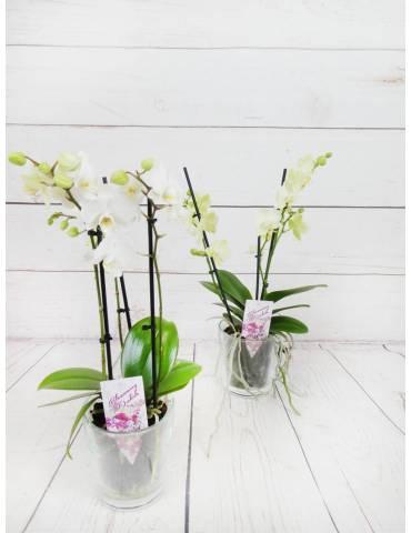 Orquídea Mini  Blanca 2...