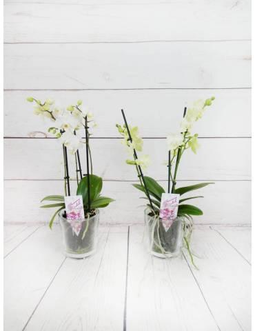 Orquídea Blanca 2 Tallos 40cm