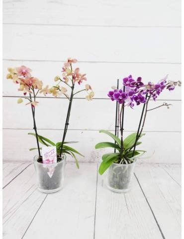 Orquideas Color Variado (Salmon o Jaspeada Fucsia)