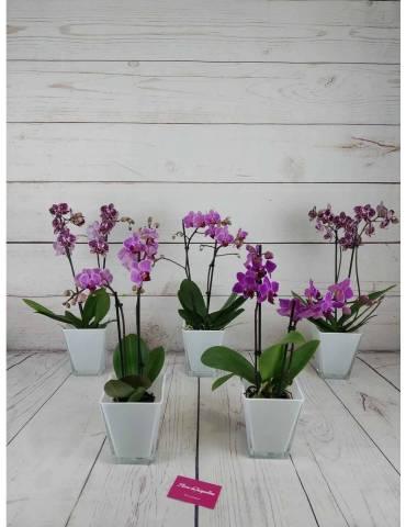 Mini Orquídea Color Variado...