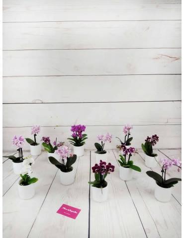 mini orquidea varios colores