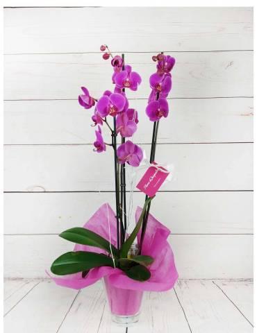 orquídea 3 tallos fucsia