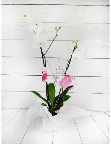 orquídea blanca de 2 tallos