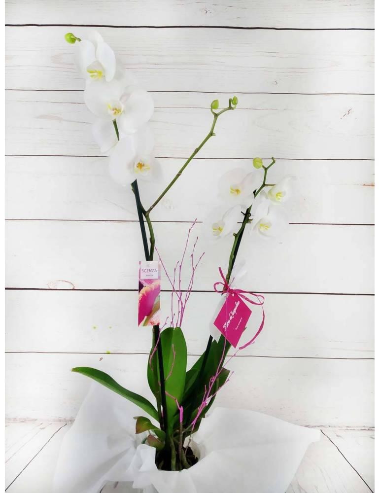 orquídea blanca de 2 tallos 70cm