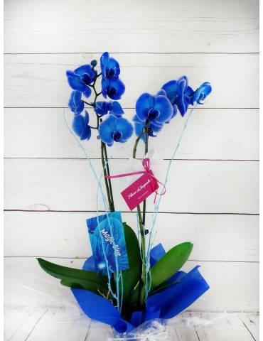 orquídea azul 2 tallos