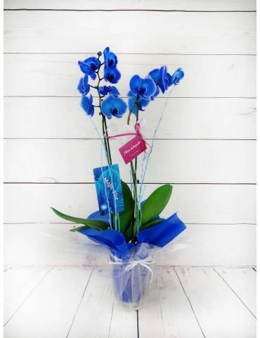 orquídea 2 tallos azul