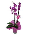 Orquídeas Phalaenopsis | Plantas de Interior